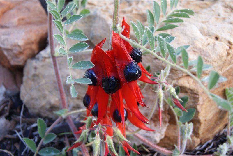 Sturt Desert Pea, South Australia's floral emblem