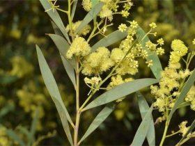 Acacia Quornensis