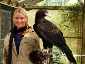 Once in a life time experience available with our beautiful female Wedge-Tailed eagle