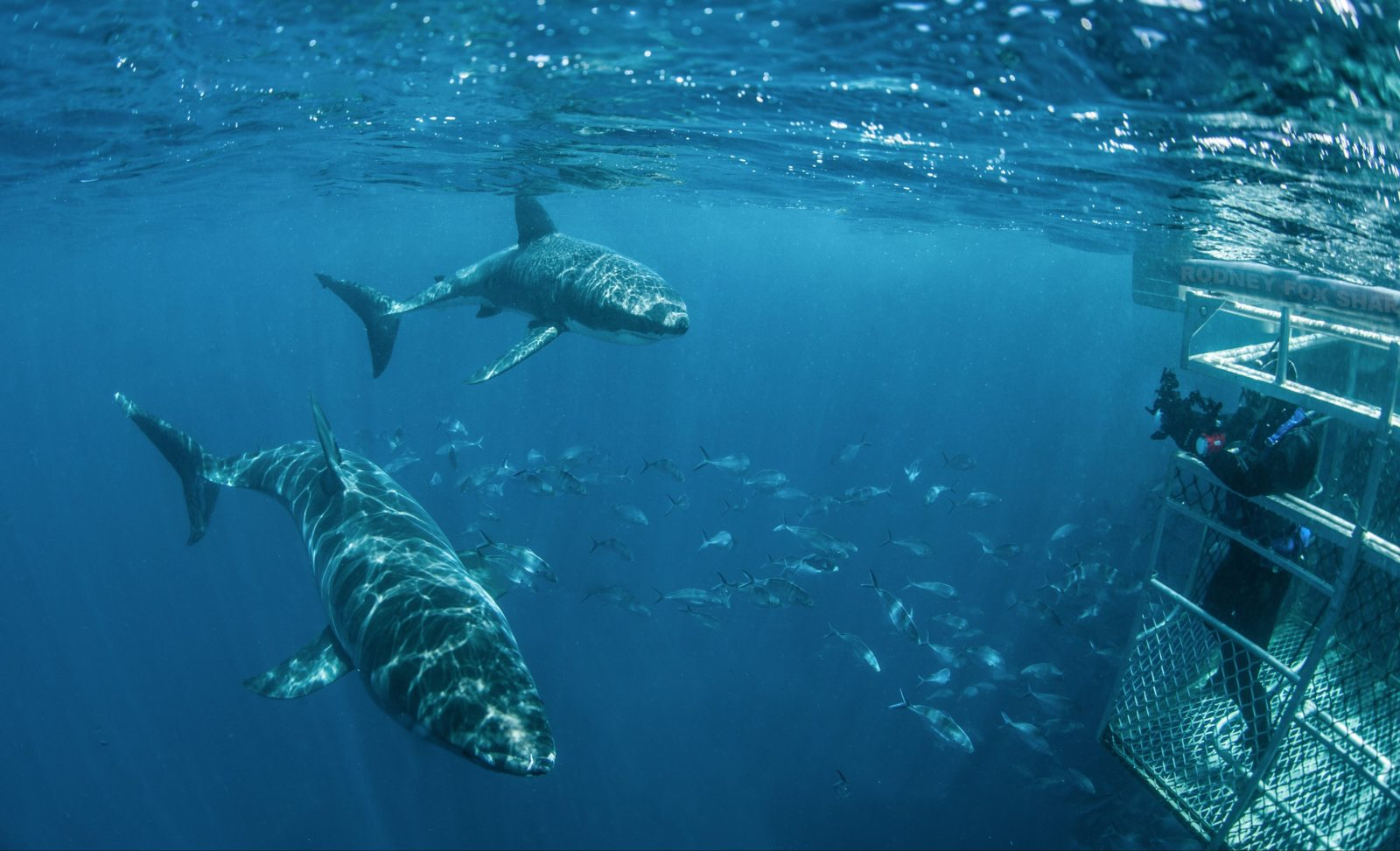 White Sharks Swim By Surface Cage