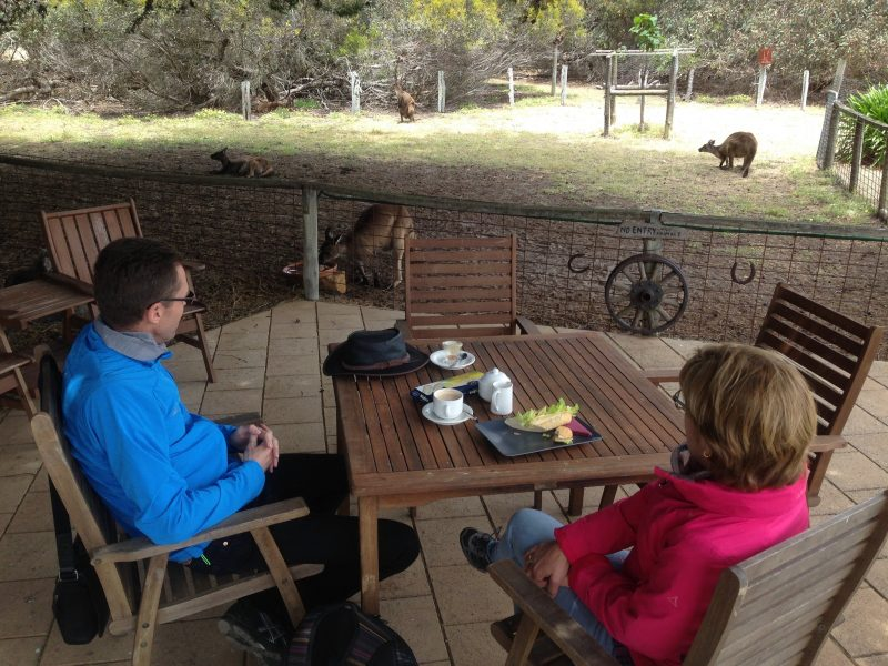 Kangaroos graze near the cafe seating