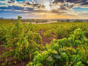 Centenarian Bush Vines