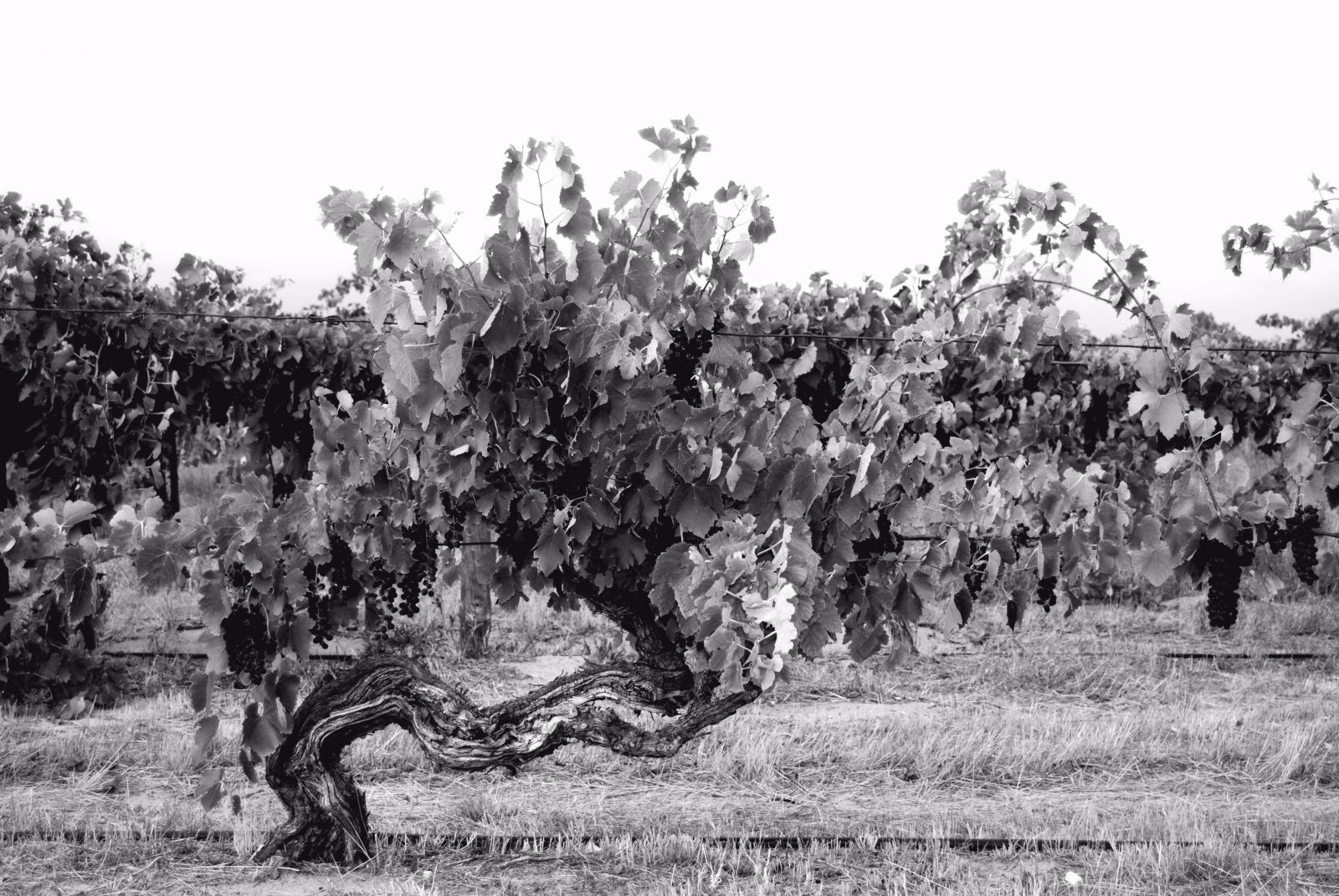 These vines have seen out 2 world wars and the great depression.