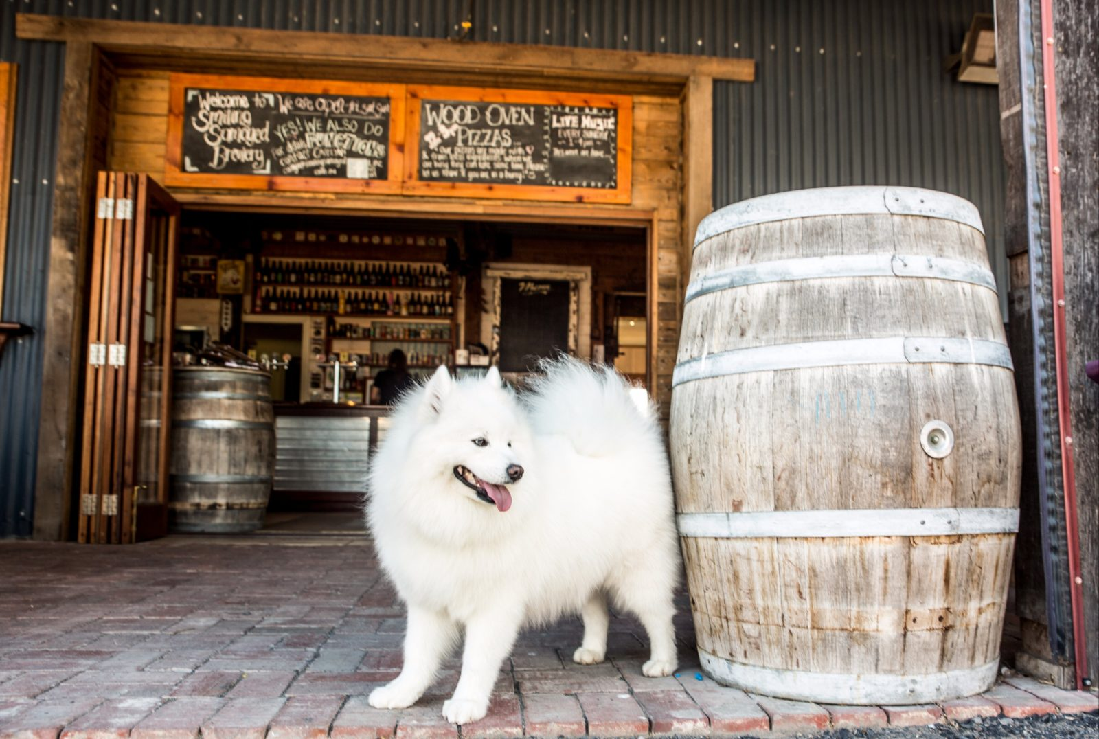 Hoppy the Samoyed greets guests at Smiling Samoyed Brewery