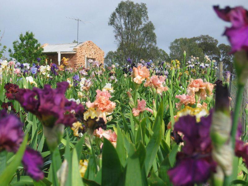 overlooking an iris bed