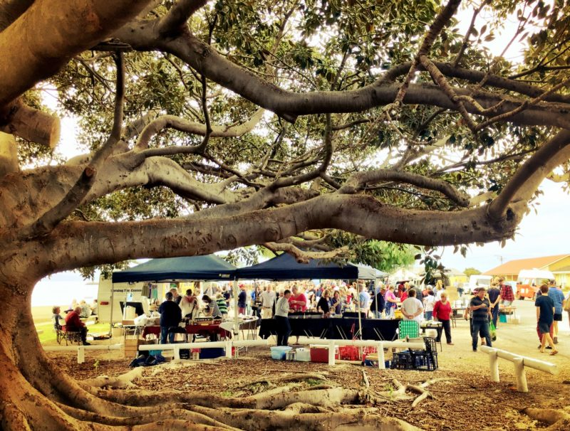 Moreton Bay Fig at Stansbury Seaside Market