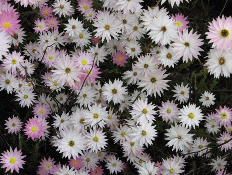 Rhodanthe rosea