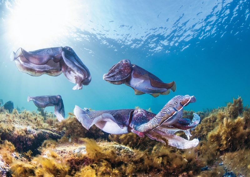 Giant Cuttlefish Whyalla South Australia