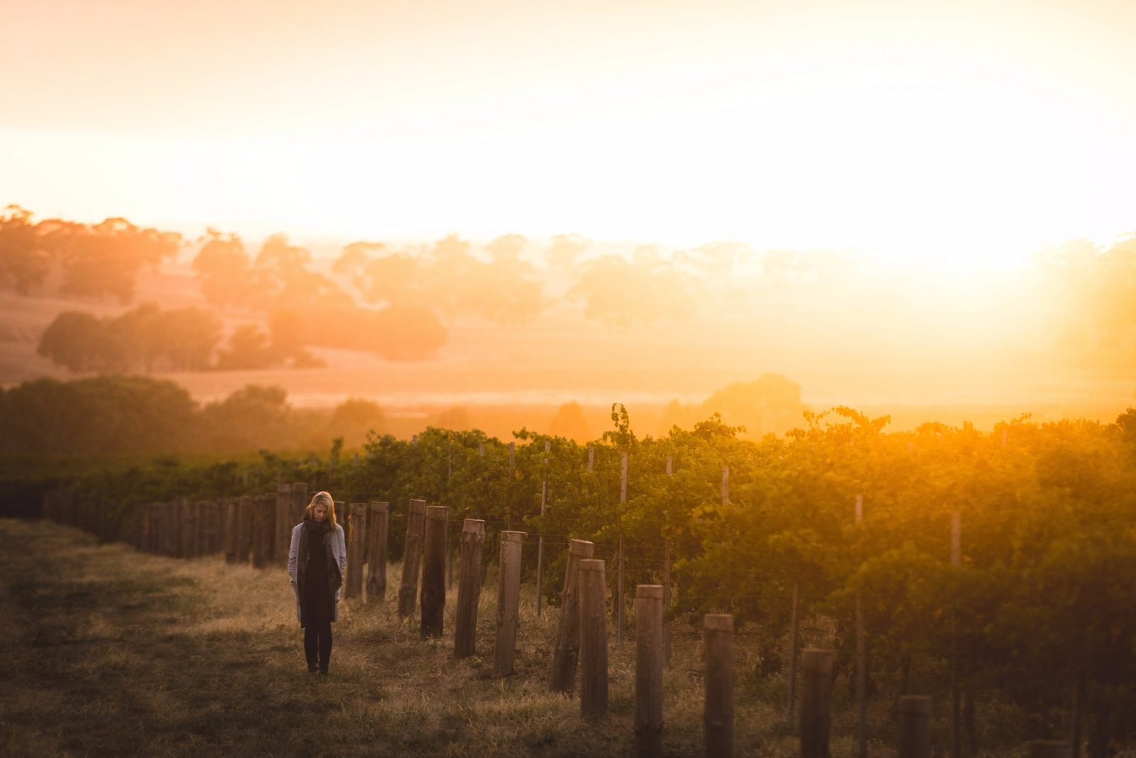 Sunset over the vineyard at Taylors Wines in the Clare Valley