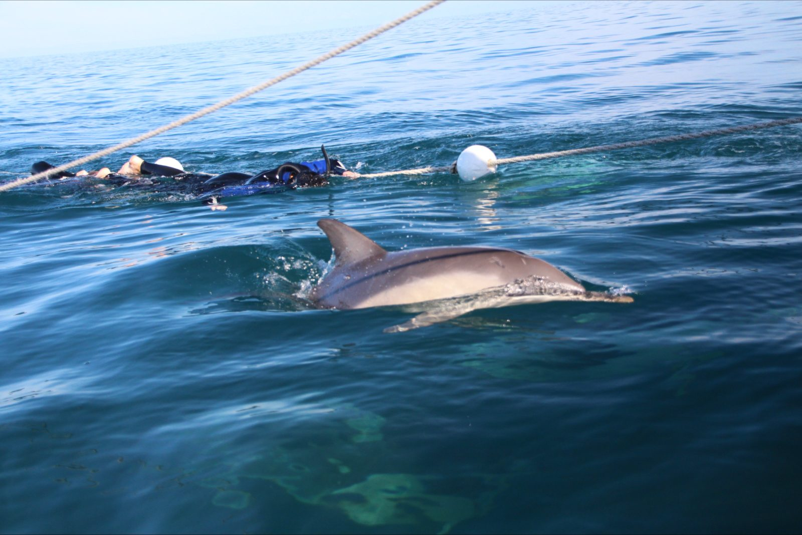 Swimming with wild common dolphins