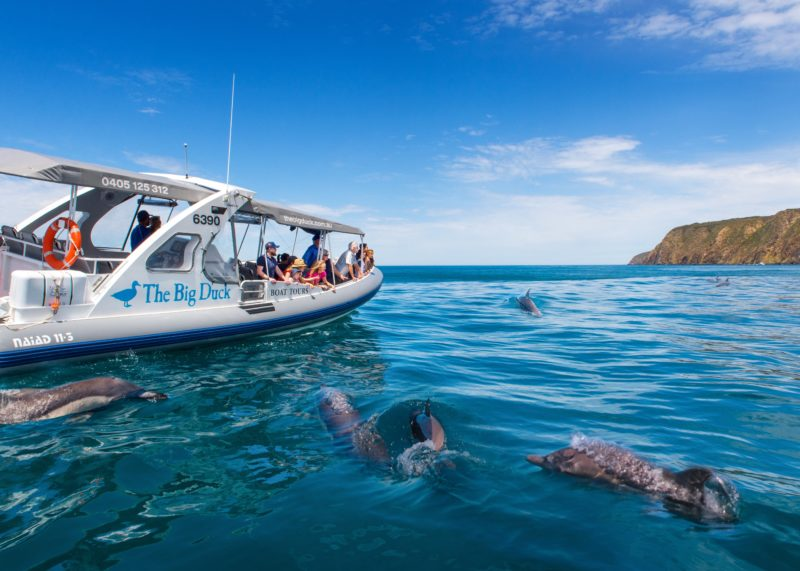 dolphins victor harbor encounter bay the big duck boat tour whales waitpinga cliffs seals sea lions