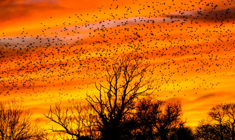 Image of a sunset sky with birds filling it