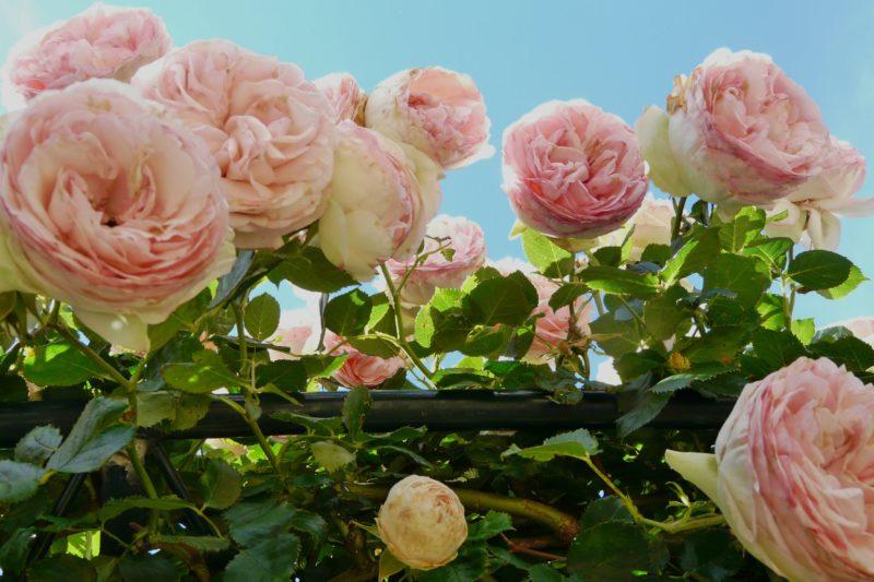 Pierre du Ronsard Rose
