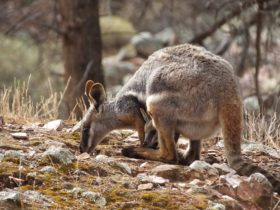 Yellow Footed Rock Wallaby with joey in pouch