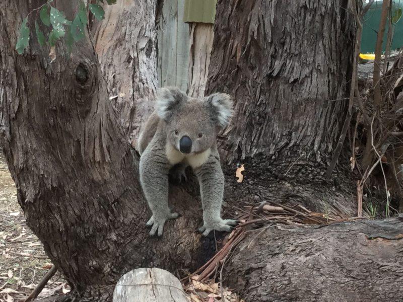 Koalas, Western KI Caravan Park, Flinders Chase, Wildlife Reserve