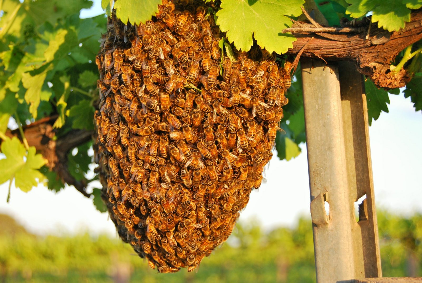 A swarm of bees just taking a break in the vineyard