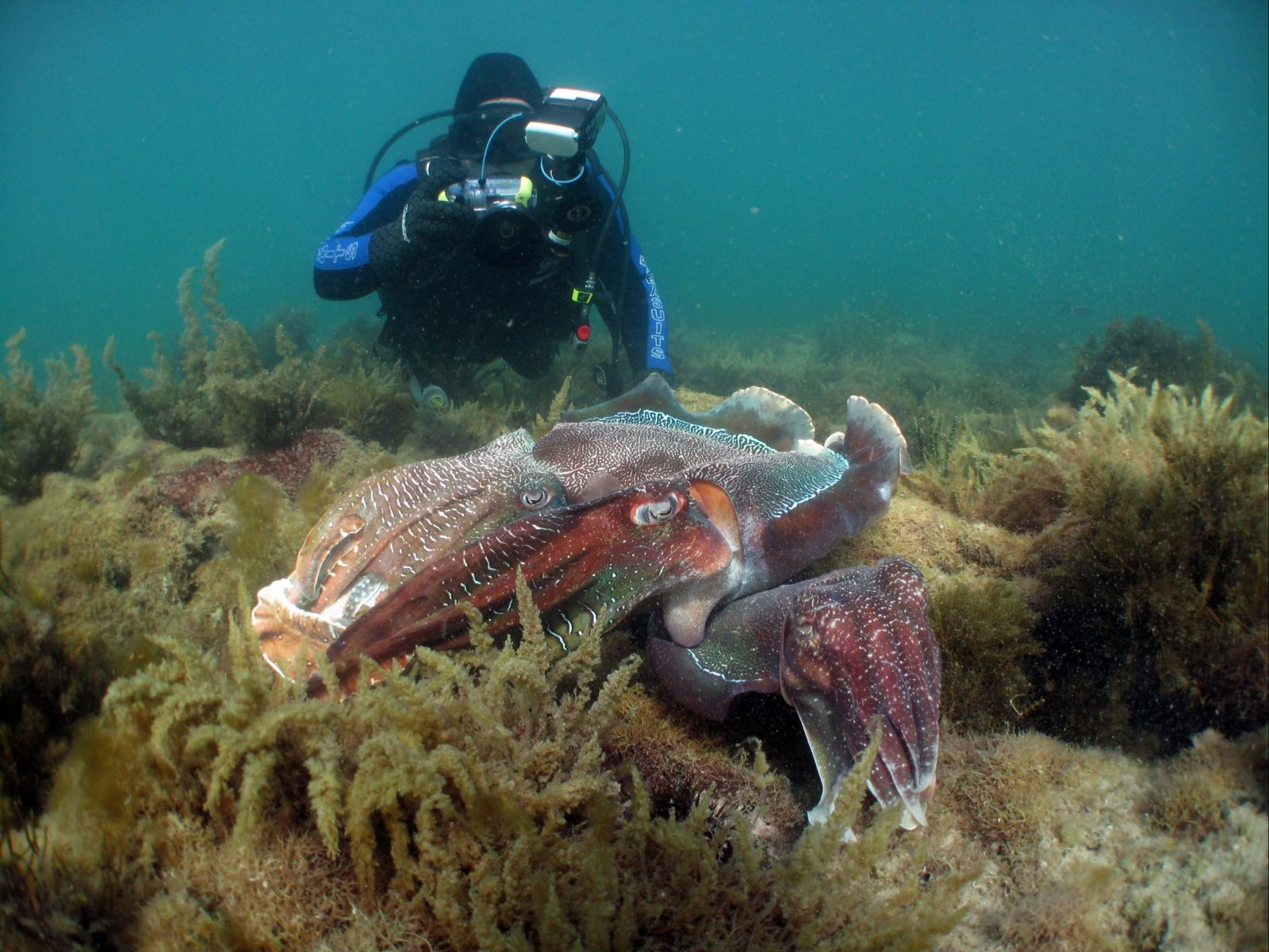 Diver photographing cuttlefish