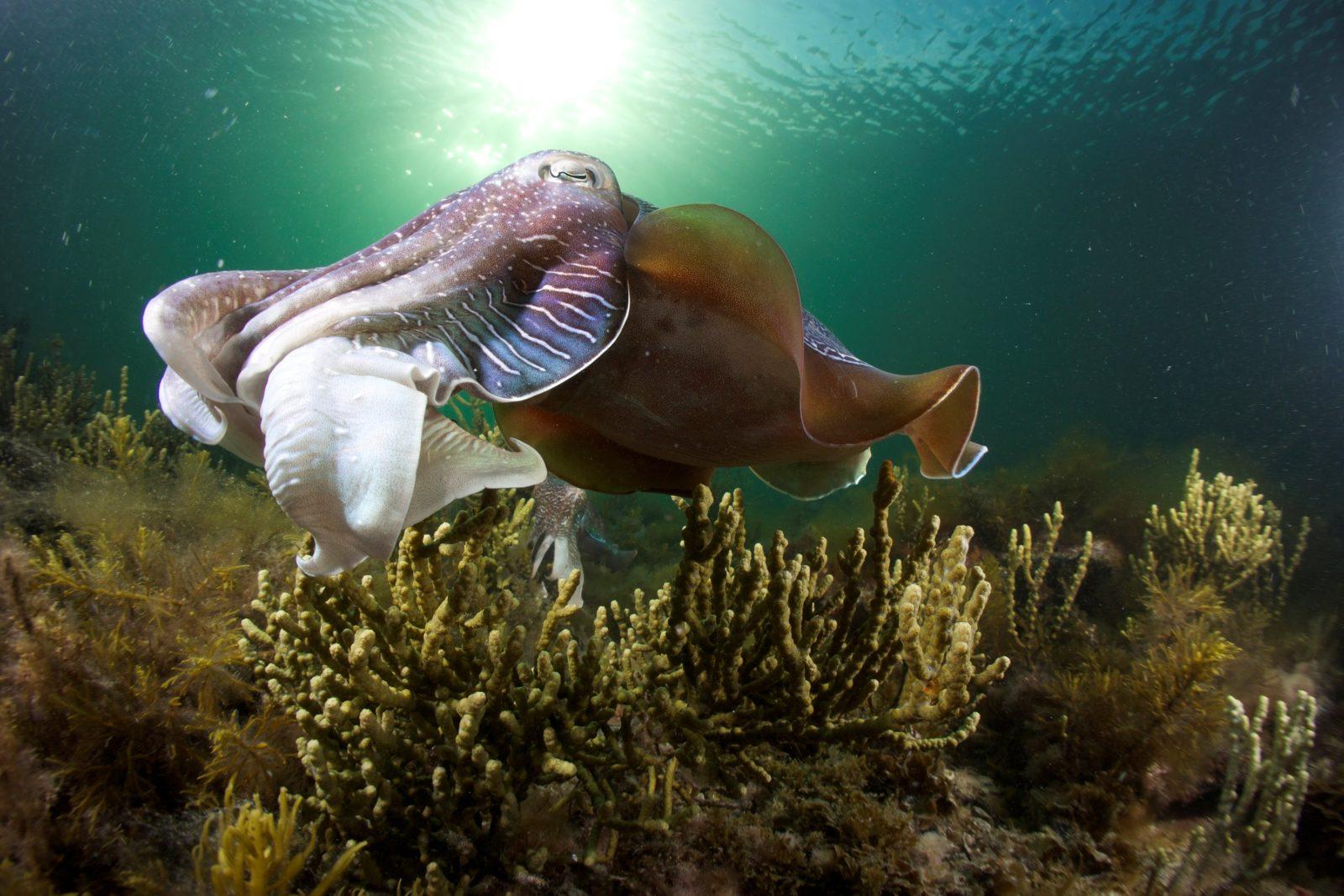Whyalla Austrailan Giant Cuttlefish