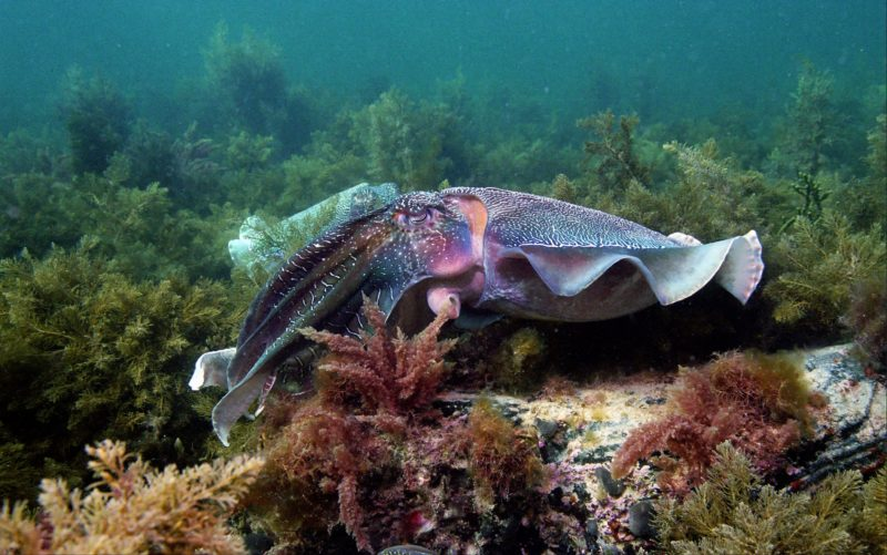 Male Whyalla Australian Giant Cuttlefish