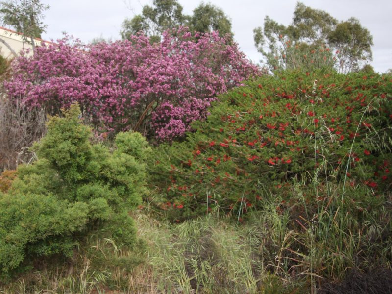 Geraldton Wax in full bloom.