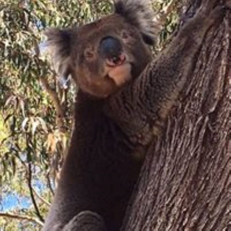 Koalas are regular visitors to the park and provide great photo opportunities for guests