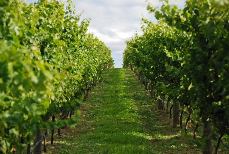 Bangor's Vineyard
