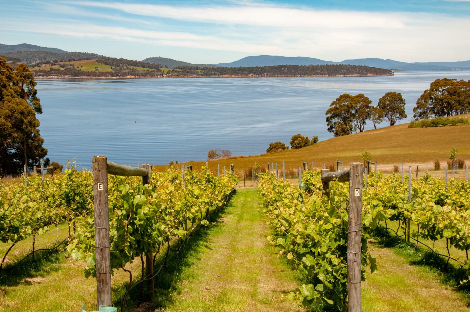 Farm pinot vineyard overlooking Cygnet bay and Bruny Island