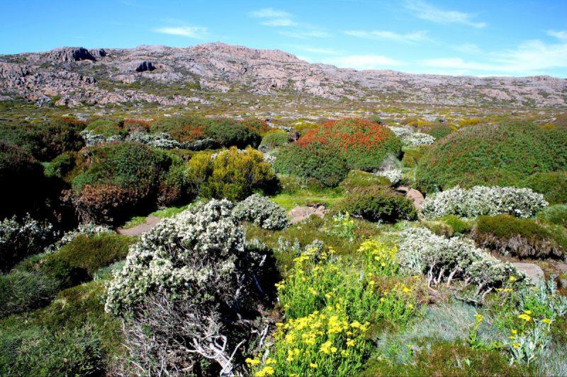 Wildflowers, Ben Lomond National Park