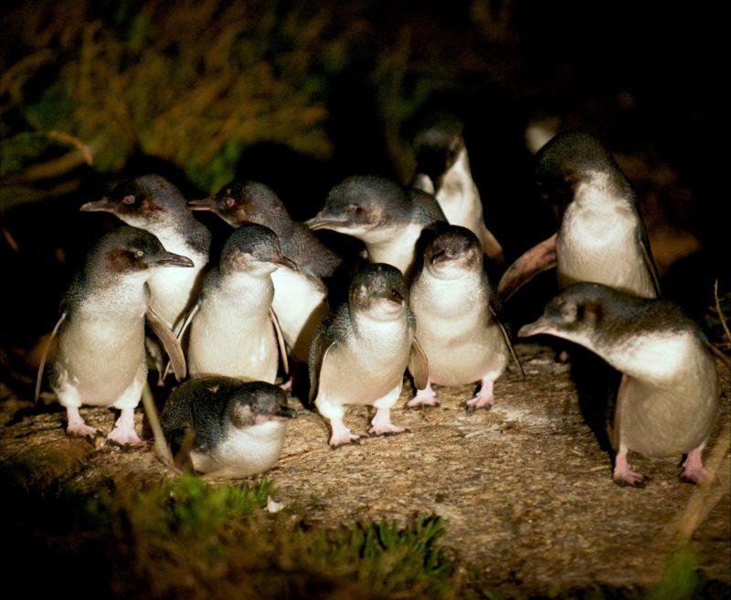 Penguins at dusk