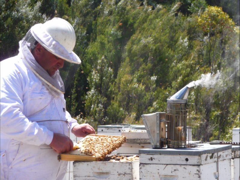 Master Beekeeper at work