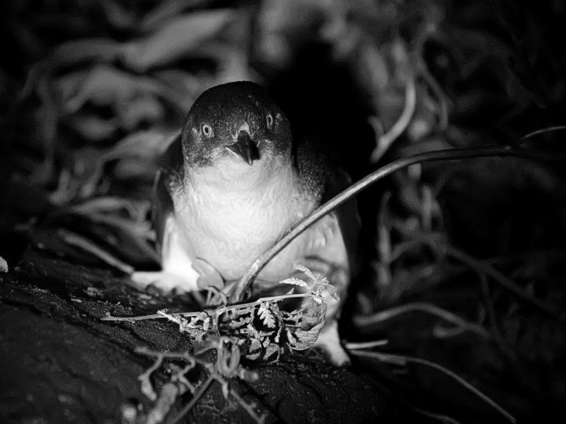 Bonnet Island Experience - Tasmanian Penguin Tour