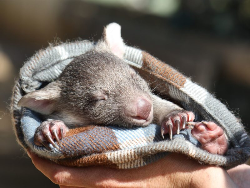 Orphaned bare-nosed wombat being held in a pouch