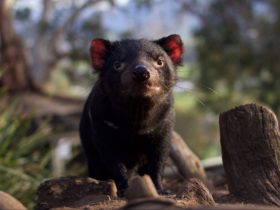 Tasmanian devil overlooking his area
