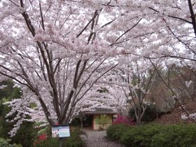 Oct - Cherry Blossoms, Japanese Garden