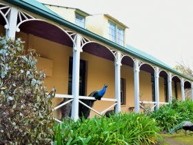 Peacock on verandah