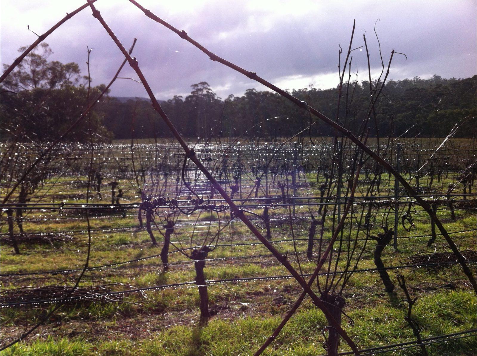rain on vines
