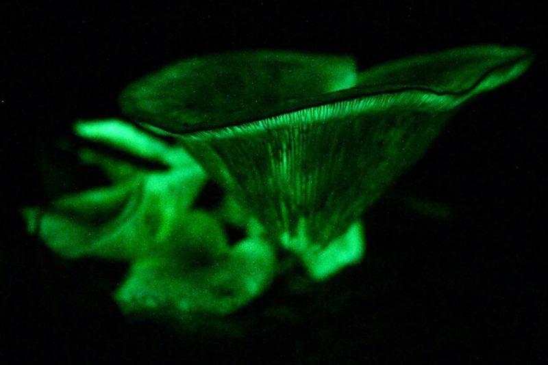Glow in the dark fungi on Dooleys Hill