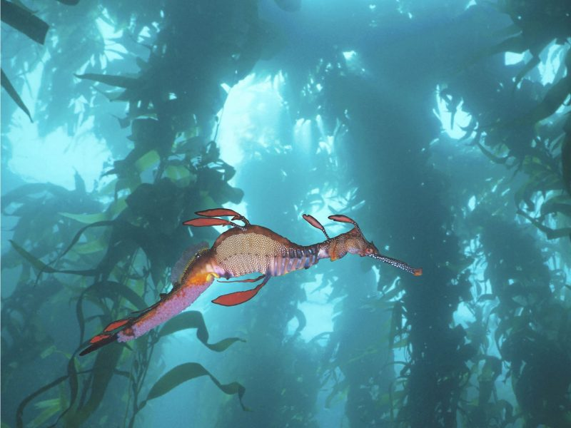 Weedy Seadragon in Giant Kelp Forest