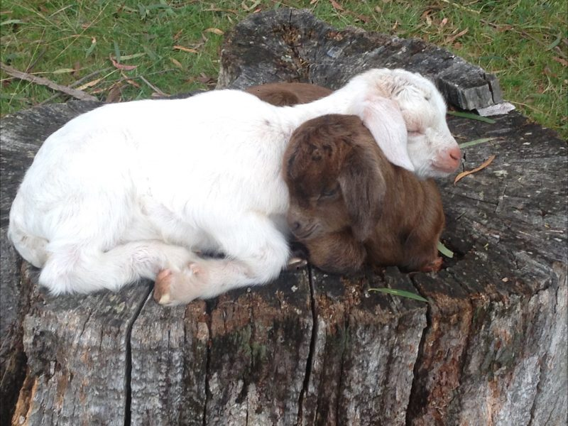 baby goats and lambs in the spring