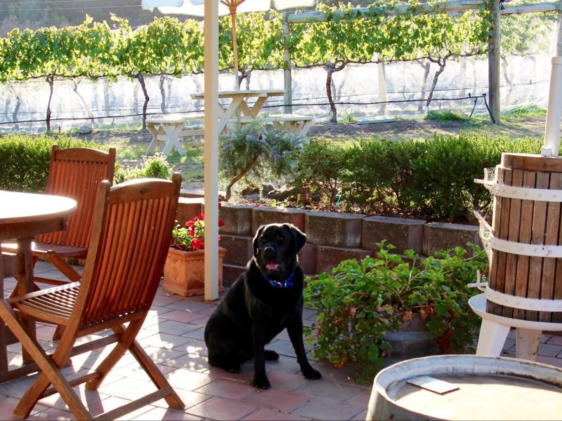Your host, Archie the Black Labrador at Every Man & His Dog Vineyard
