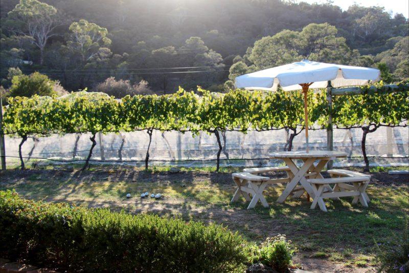 Morning in the vineyard at Every Man & His Dog Vineyard