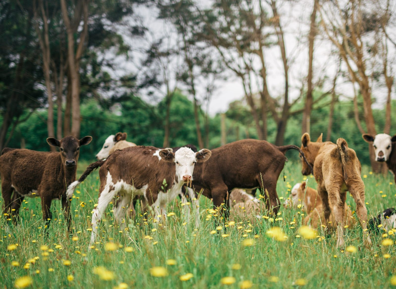 Dairy cows and calves at Grennels Dairy Farm, during Farmgate Festival