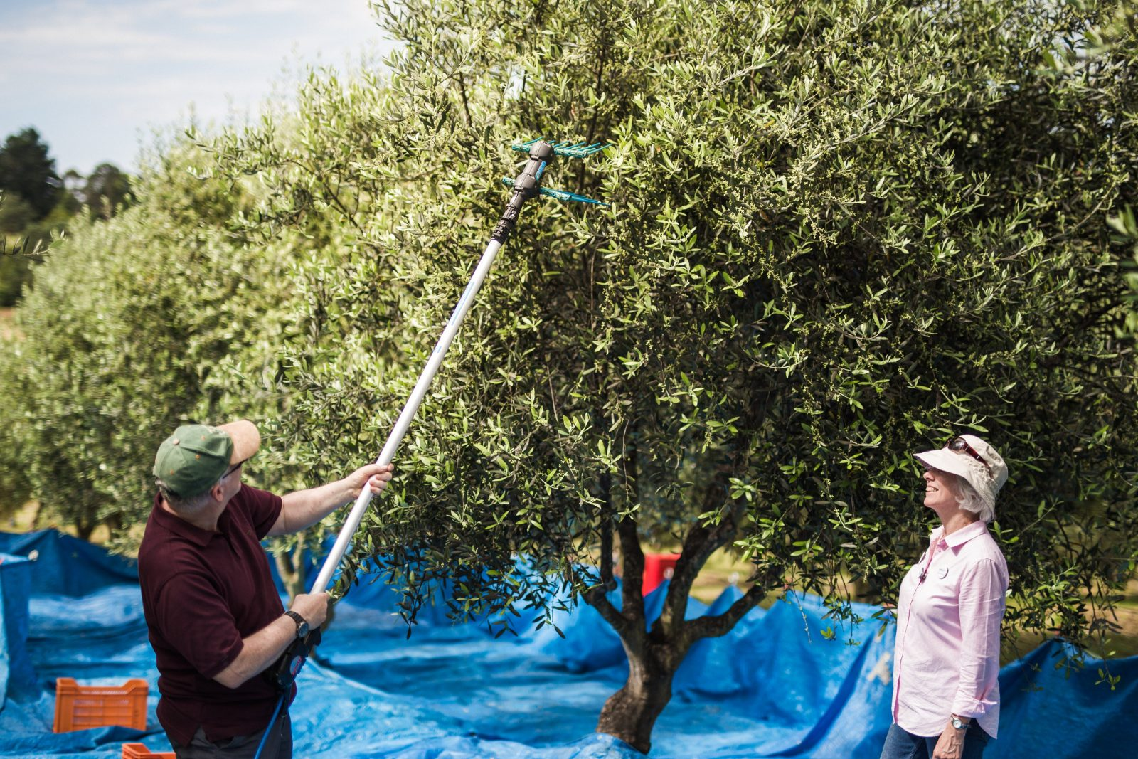 Try your hand at harvesting olives - at Village Olive Grove during Farmgate Festival