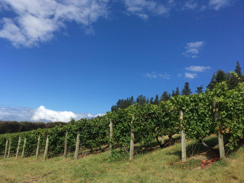 Our beautiful grape trees