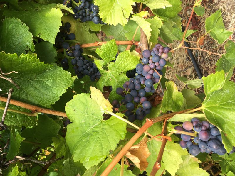 our lovely grapes