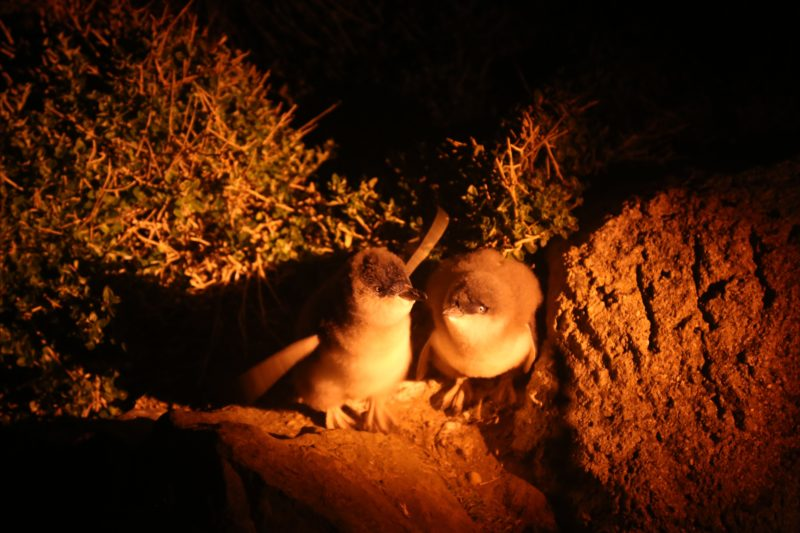 Two Little Penguin chicks, January 2017
