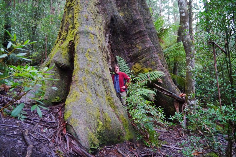 A tree hunter stands at the base of a massive forest tree
