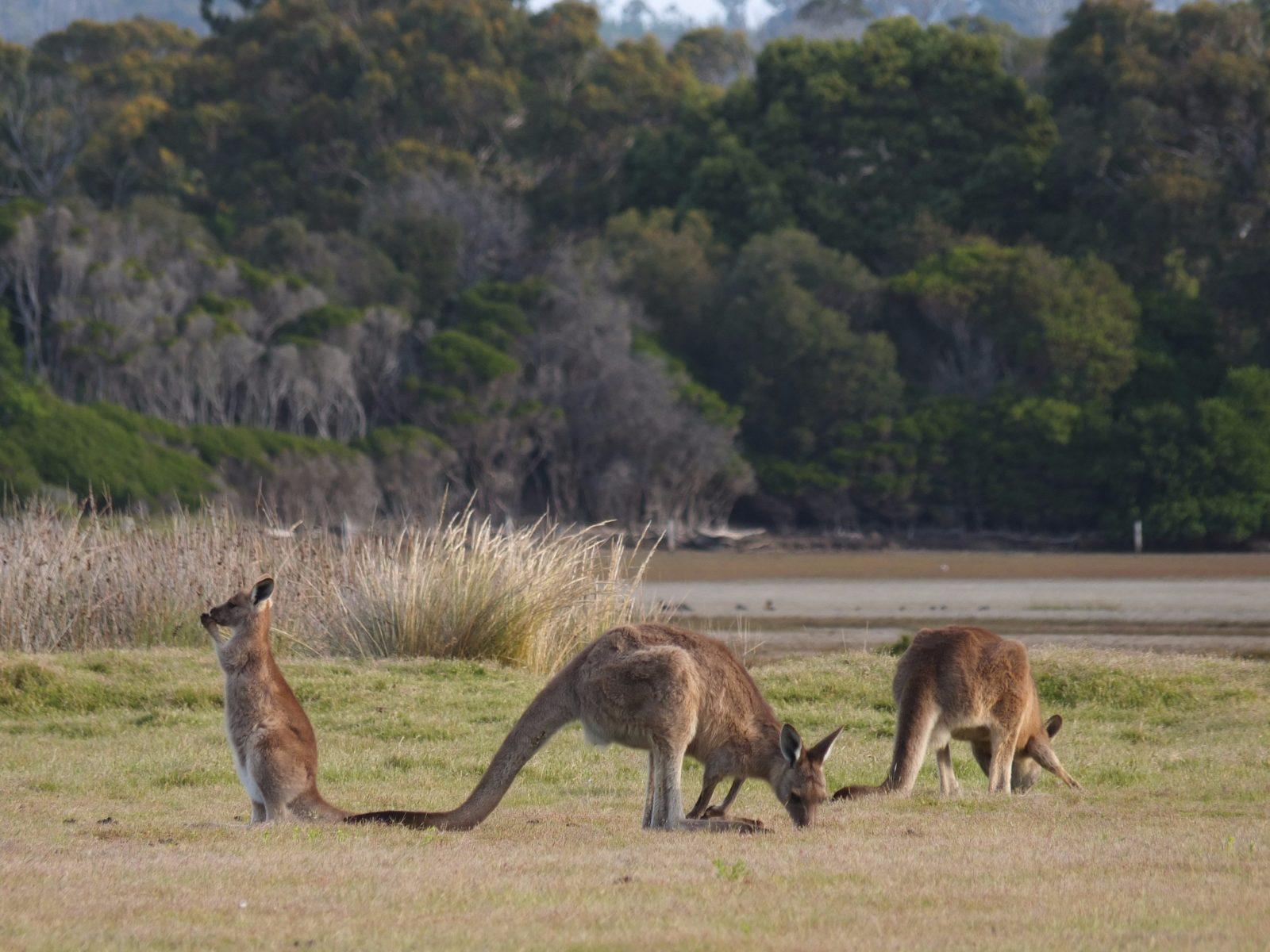 Kangaroos in the Narawntapu National Park