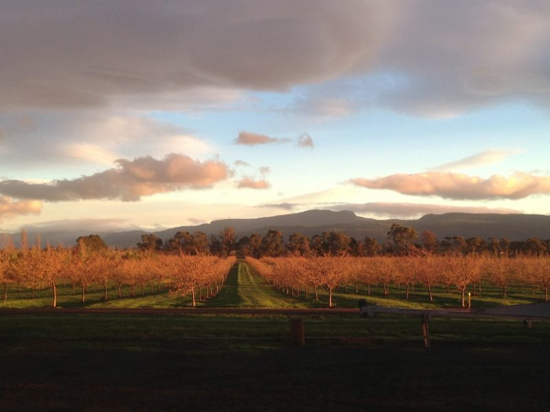 Winter Orchard under the Great Western Tiers