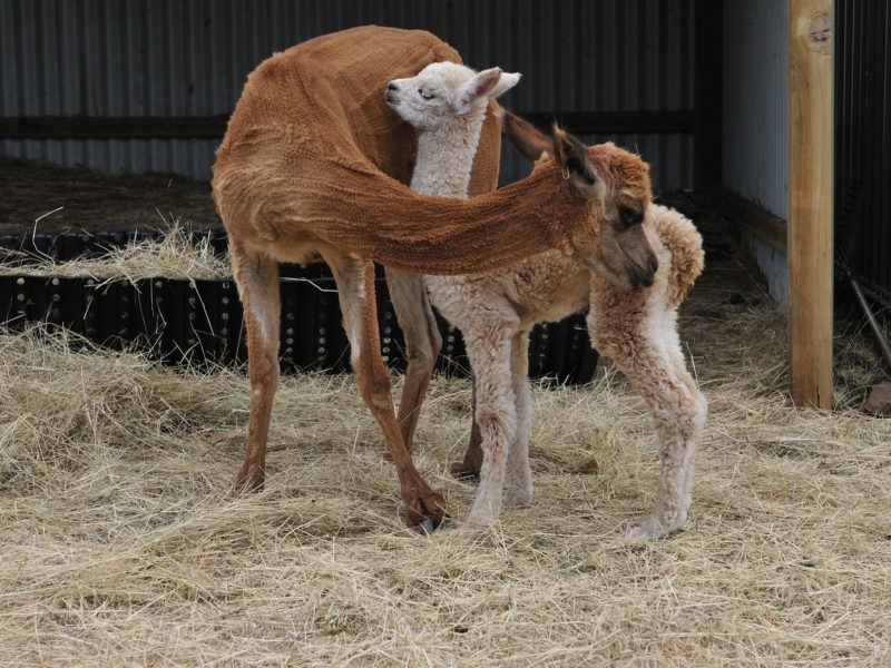 Mother and baby alpaca